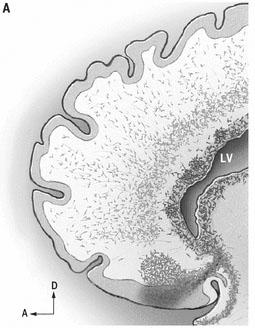 Migración Neuronal