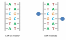 ADN metilado
